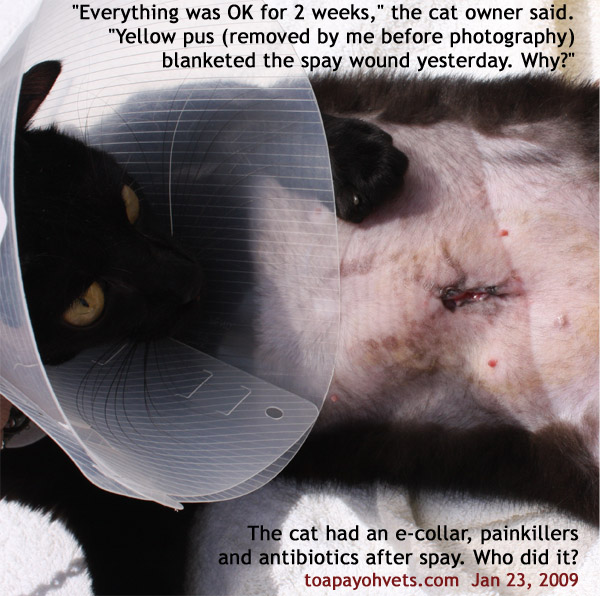 Dogs Wound  Days After Spay