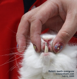 Rabbit overgrown incisor teeth. Toa Payoh Vets