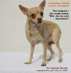 Chihuahua, 2 years, female, not spayed, large inguinal hernias. Toa Payoh Vets