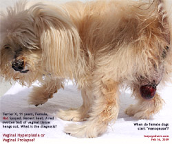 11-year-old female dog, not spayed. Vaginal Hyperplasia or Vaginal Prolapse? Toa Payoh Vets