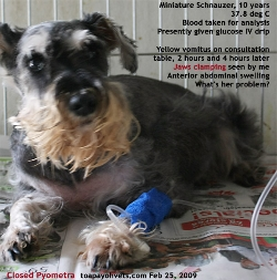 Old Miniature Schnauzer, Not Spayed. Closed Pyometra. Toa Payoh Vets