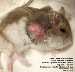 Dwarf Hamster, 9 months. Right Cheek Pouch Abscess. Toa Payoh Vets