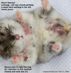 Dwarf Hamster. Left eye conjunctivitis, itchy. Lethargy. Toa Payoh Vets