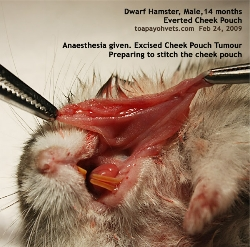 Dwarf Hamster. Everted Cheek Pouch Tumour Surgery. Toa Payoh Vets