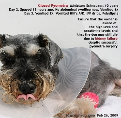 Closed Pyometra. Spayed 12 hours ago.  Miniature Schnauzer 10 years vomit next 2 days. Toa Payoh Vets.