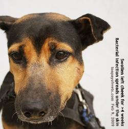 Dog bite abscess need veterinary treatment. Toa Payoh Vet
