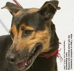 Dog bite abscess need veterinary treatment. Toa Payoh Vets