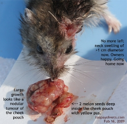 Dwarf Hamster, 1.5 years. Cheek pouch tumour and abscess. Toa Payoh Vets