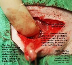 Chihuahua, female, 2 years. Bilateral Inguinal Hernia Repair. Surgery. Toa Payoh Vets