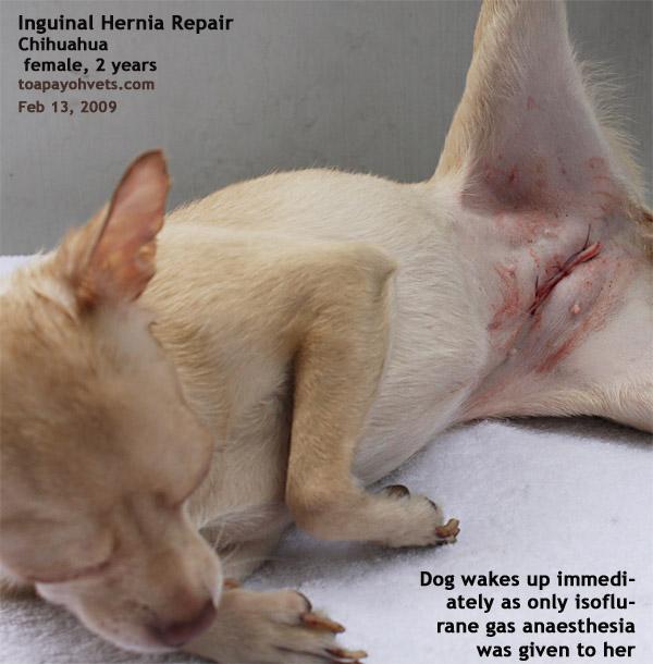 Inguinal Hernia Female Dog Shih