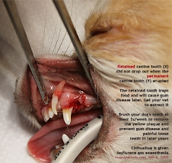 Chihuahua young. Retained left upper canine tooth extracted. Toa Payoh Vets