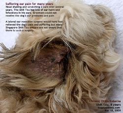 Chronic Otitis Externa - Excessive Ear Hairs. Shih Tzu. Toa Payoh Vets