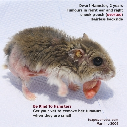 Dwarf Hamster, 2 years, Cheek Pouch Right, Everted, Tumours, Abscesses. Toa Payoh Vets