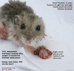 Cheek pouch tumour and abscesses. Dwarf Hamster 2 years. Toa Payoh Vets
