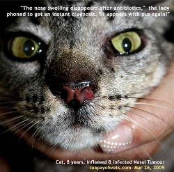 Inflamed, infected nostril tumour, Cat, 8 years. Toa Payoh Vets