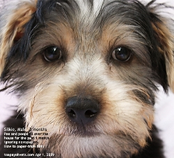 Paper training Silkie Terrier needs confinement 2-4 weeks etc. Toa Payoh Vets