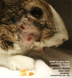 Rabbit Cheek Abscesses. Anaesthesia. Molar teeth extracted. Abscesses Drained. Toa Payoh Vets
