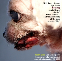 Corneal ulcers are very painful to the Shih Tzu. Toa Payoh Vets