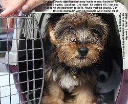 Silkie Terrier, 3 months, male. Controls bladder 11 pm to 7 am. Incredible. Toa Payoh Vets