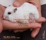 dwarf hamster 1.5 years old, skin tumour or wart. Toa Payoh Vets