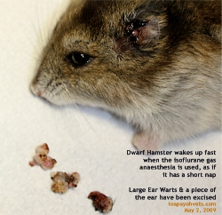 Dwarf Hamster wakes up fast when isoflurane gas is used. Warts excised. Toa Payoh Vets