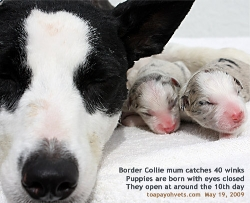 Border Collie dam and neonates. Toa Payoh Vets