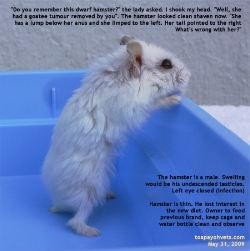 Thin Dwarf Hamster. Toa Payoh Vets