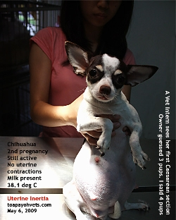 Chihuahua, 2nd pregnancy. Uterine Inertia. Caesarean Section. Toa Payoh Vets.