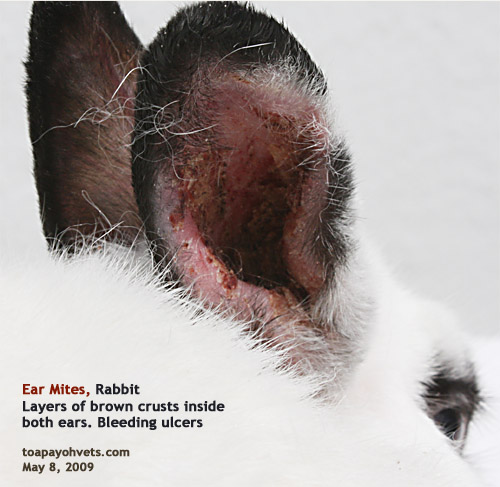 Displaying (14) Gallery Images For Ear Mites In Golden Retrievers... Ear Mites In Golden Retrievers