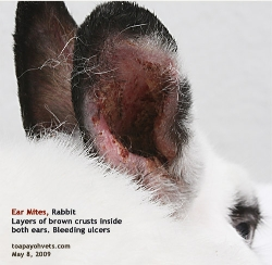 Ear mites, rabbit. Layers of brown red crusts inside 2 ears. Toa Payoh Vets