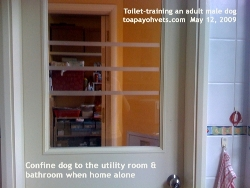 Toilet-Training and Urine-marking, adult Male Maltese/Dog. Toa Payoh Vets
