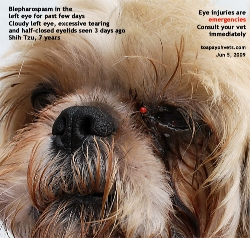 Left Eye Descemetocoele. Shih Tzu, 7 years. Toa Payoh Vets