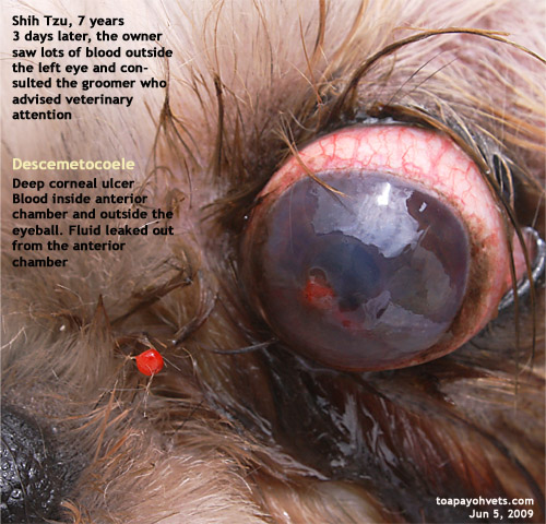 Dog Eye Ulcer Rupture