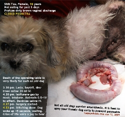 Closed Pyometra. 16-year-old Shih Tzu after surgery. OK. Toa Payoh Vets