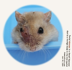 Dwarf Hamster. Ruptured facial abscess. Singapore. Toa Payoh Vets