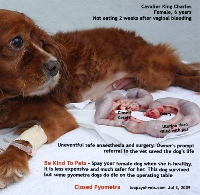 Cavalier King Charles, 6 years. Closed Pyometra. Survived. Singapore. Toa Payoh Vets