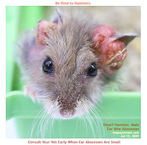 Dwarf Hamster. Hardened ear bite abscesses. Toa Payoh Vets