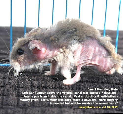 20090804Singapore hamsters diseases rabbit head facial
