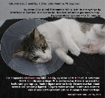 Spaying caterwauling cats take a longer time as more care is needed. Toa Payoh Vets.