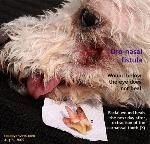 Oro-nasal_fistula_extracted_Premolar_4th_9year_old_dog. Toa Payoh Vets