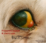 Eyeball prolapse long ago. Cherry Eye. Abandoned Pek X. Toa Payoh Vets