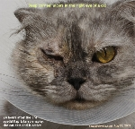 Cat eye ulcer surgery 3rd eyelid flap & tarsorrhaphy  Toa Paayoh Vets