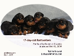 Singapore Rottweiler pups for sale by owner.Toa Payoh Vets