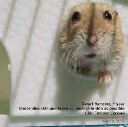 Dwarf Hamster tumours are best removed by surgery when they are small. Toa Payoh Vets