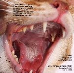 Viral tongue ulcers after fighting off feline intruders - stray cats. Toa Payoh Vets