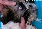 Dermoid in a Shih Tzu's eye seen by Dr Sing in 2003. Toa Payoh Vets
