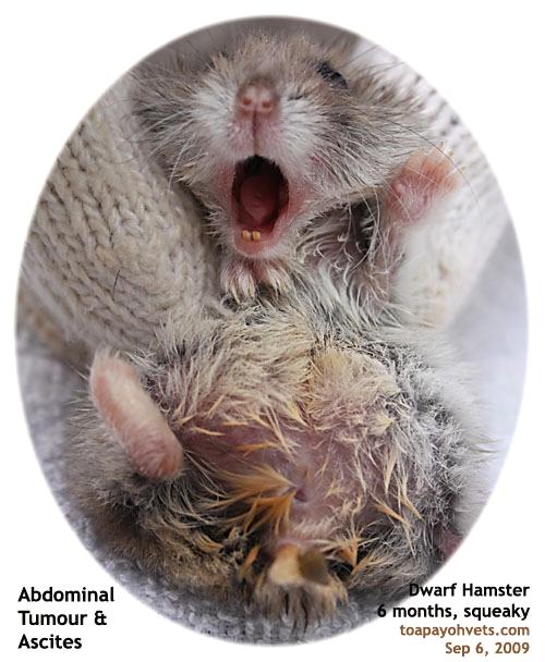 Big Hamsters a Hamster's Big Belly