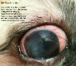 Shih Tzu, 8 months. Right eye. Dermoid in cornea excised 9 days ago. Toa Payoh Vets