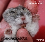 20090933Dwarf_Hamster_lower_lip_growth_abscess_ToaPayohVets