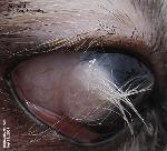 Dermoid cyst  eye  Shih Tzu  Dermoid Cyst Eye